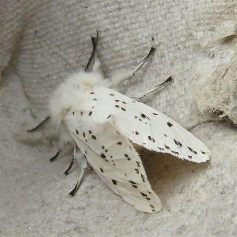 white fluffy white fluffy moth www pixshark images galleries