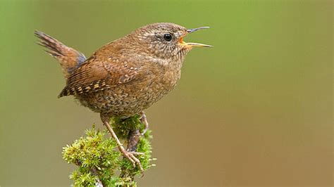 how does a tiny bird like a winter wren manage to sing so