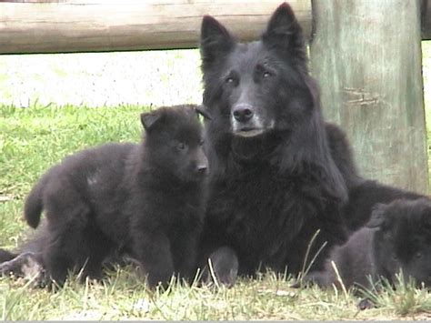 belgian shepherd puppies belgian shepherd puppies