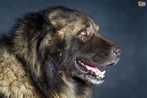 types of shepherd dogs caucasian shepherd ovcharka variants and types pets4homes