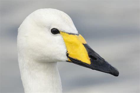 whooper swan audubon field guide