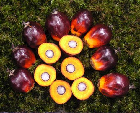 Minyak Kelapa Sawit Dunia tips sukses dalam menjalankan budidaya sawit budidaya