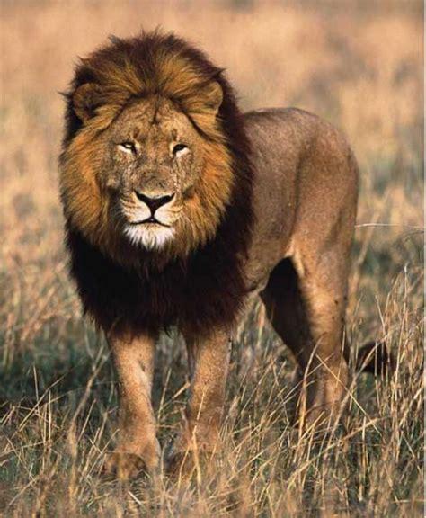 google images lion ranking de felinos del mundo listas en 20minutos es