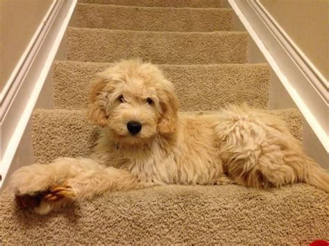 goldendoodle puppy house 25 best ideas about golden doodle puppies on