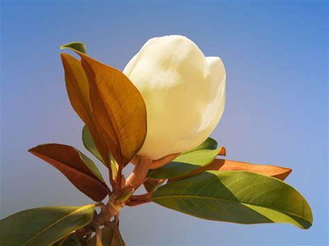 Magnolia Grandiflora Kaufen 444 immergr 252 ne magnolie galissoniere magnolia grandiflora