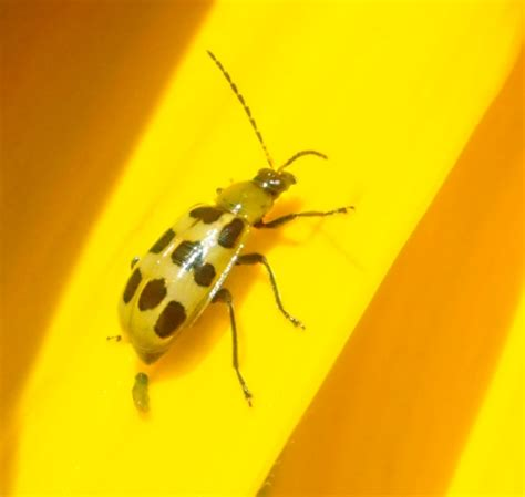 yellow black beetle garden pest bug squad agriculture and resources blogs