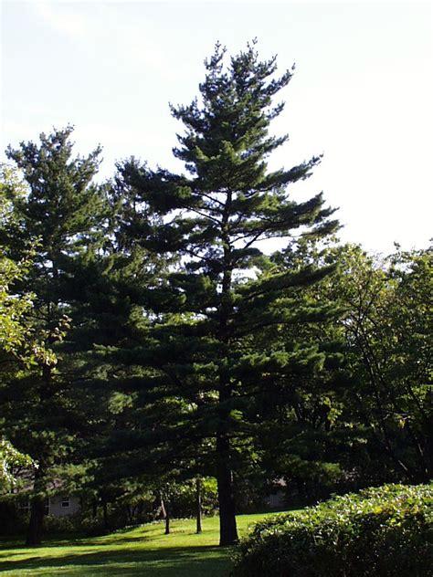tree free wallpaper pine tree