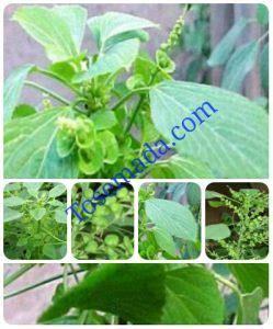 Anting Anting Nama tanaman anting anting morfologi tanaman anting anting
