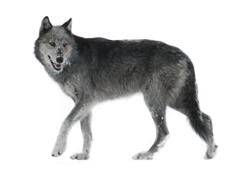 9 best images about wolf wolf png by gayaliberty on deviantart