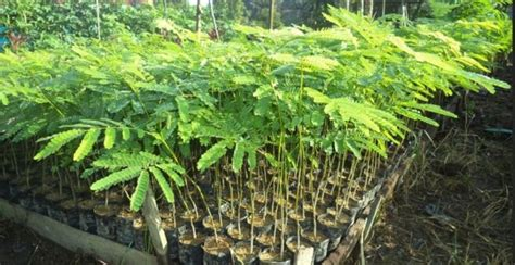 Bibit Sengon Pasuruan harga bibit pohon sengon solomon di pasuruan www