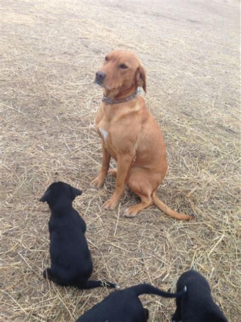setter lab mix dog lab border collie irish setter mix puppy 6 9 ptci