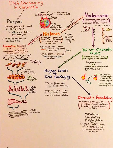 dna replication flowchart introductory biochemistry flowcharts and