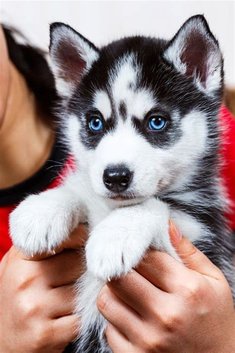 i want puppies 1000 ideas about white siberian husky on husky siberian huskies and