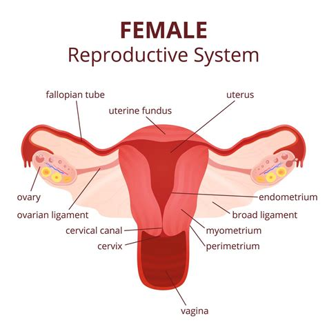 diagram of a reproductive system picture diagram of reproductive system anatomy organ