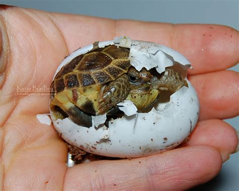 Tortaddiction: More Russian tortoise eggies!