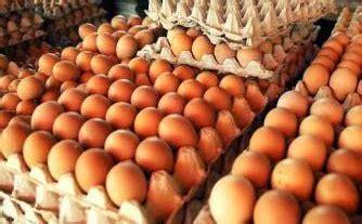 Bibit Ayam Ras Siap Telur distributor supplier pakan ternak daging ayam