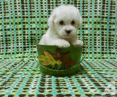 maltipoo puppies houston precious and fluffy maltipoo puppies for sale in houston classified