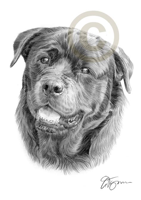 rottweiler pencil drawing pencil drawing of a rottweiler by artist gary tymon