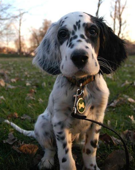 english setter dog kennels 467 best english setter photography images on pinterest