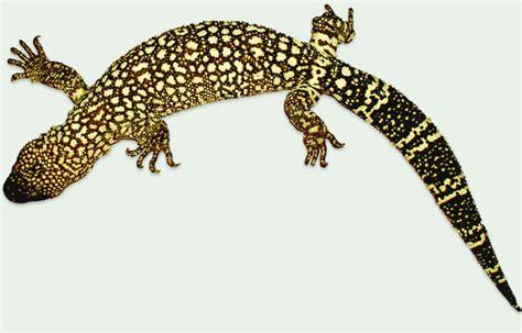 mexican beaded lizard facts mexican beaded lizard habitat www pixshark images