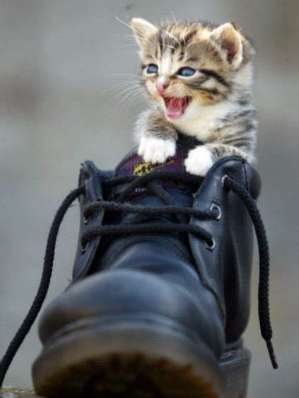 funny cat in shoes funny cat pictures 187 my new shoe