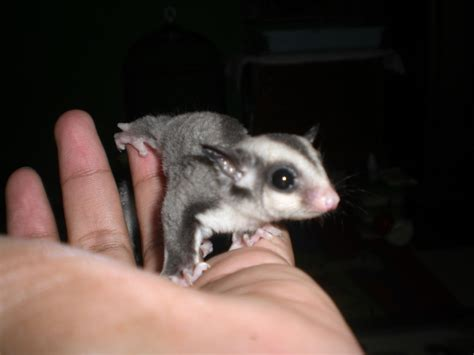 pin sugar glider arizona on cage sets pouches and more 34 on