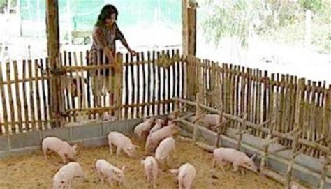 Kandang Acrylic begini cara buat kandang babi sederhana tapi bebas bau