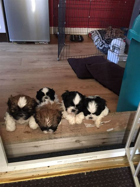 shih tzu puppies for sale in lancashire beautiful shih tzu puppies for sale blackpool lancashire pets4homes