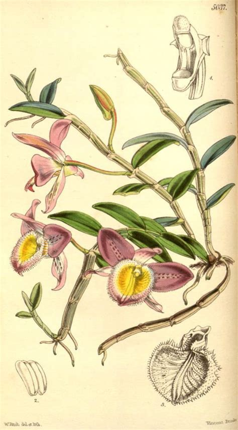 Roxburgh Park Nursery by Hortus Camdenensis Dendrobium Loddigesii Rolfe