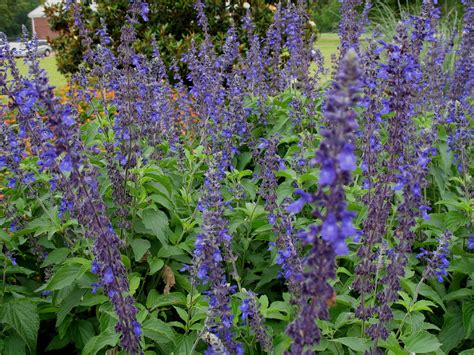 online plant guide salvia farinacea x longispicata mealy cup sage