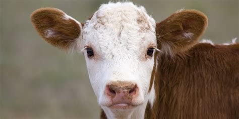 Cowhide Meaning cows moos carry a lot more meaning than you imagined