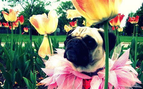 free pug wallpaper pet pug hd desktop wallpaper 7 animal wallpapers free wallpapers