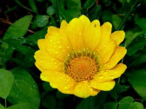 yellow flower js nature photos