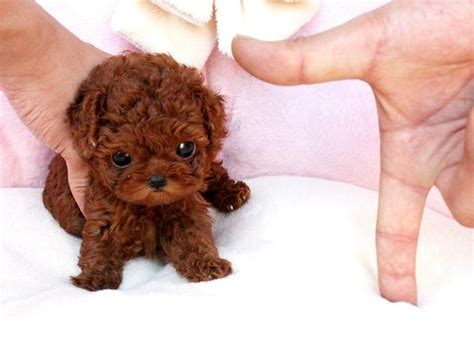 teacup poodle lifespan tea cup dogs that stay tiny i my yorkies