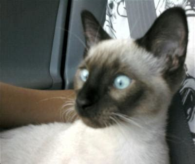 siamese cat breed facts pictures petmd petmd