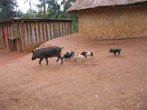 Cmon Ladiesbe Pigs by Michael Lori Johnson S Papua New Guinea Photo Gallery