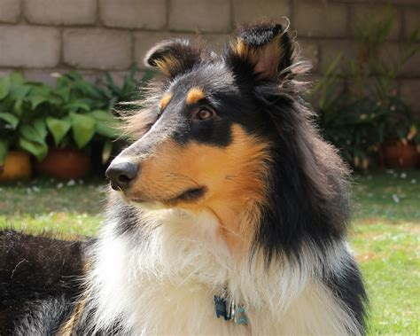collie puppy pictures german coolie breeds picture
