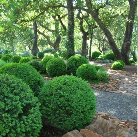 boxwood globes cool landscape pinterest