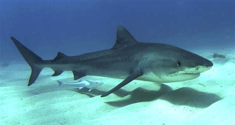 tiger shark pictures  hd wallpapers