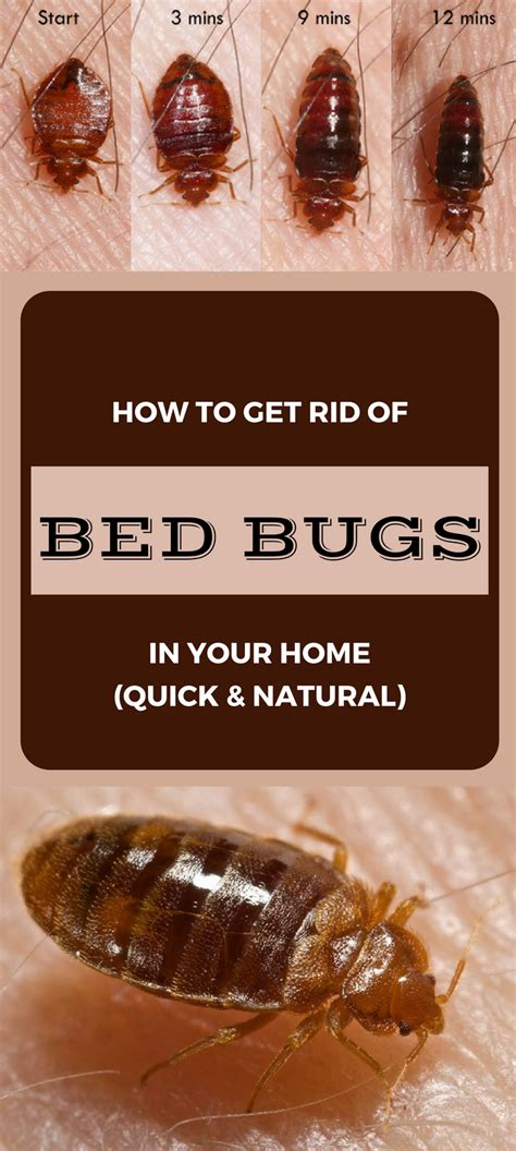 how to rid of bed bugs how to get rid of bed bugs in your home quick and natural