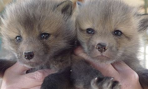 fox puppy buy your own pet fox puppy and save important research animaltourism news