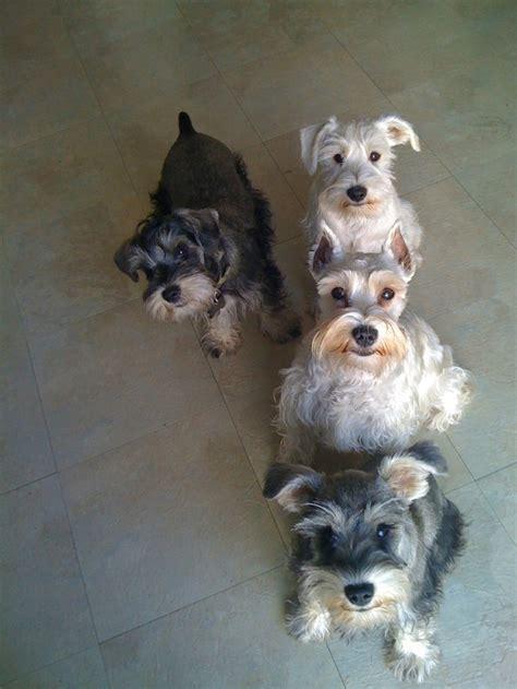standard schnauzer puppies ohio best 1288 i miniature schnauzers images on animals and pets