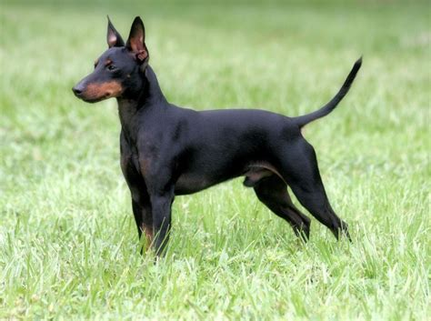 manchester terrier puppies manchester terrier breed pictures information temperament characteristics