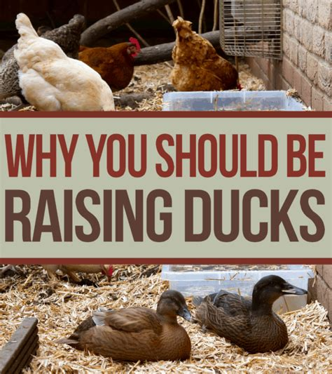 why you should be raising ducks opposed to chickens