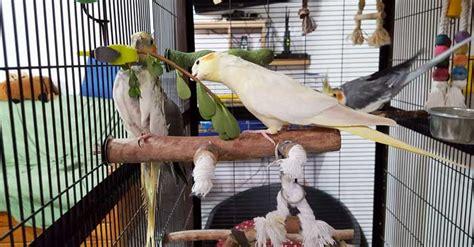 accessori per gabbie pappagalli migliori gabbie e voliere per pappagalli a confronto