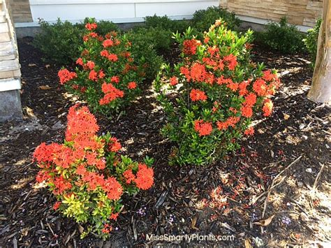 Large Pink Flowering Shrub - ixora hedges beyond the basics miss smarty plants