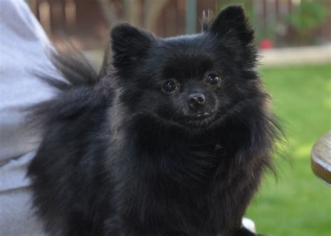 black and pomeranian pomeranian dogs breed information personality pictures
