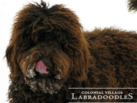labradoodle puppies indiana colonial labradoodles top indiana labradoodle breeder with a national presence
