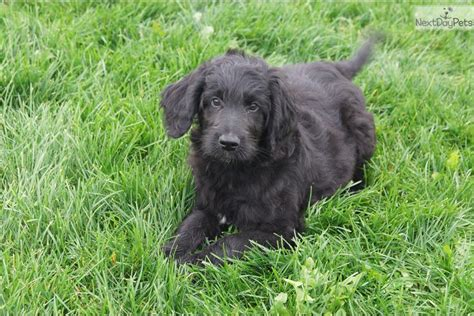 doodle 4 indiana george goldendoodle puppy for sale near south bend