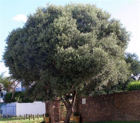 Bibit Pohon Zaitun Tanaman Obat Obatan benih zaitun olive tree